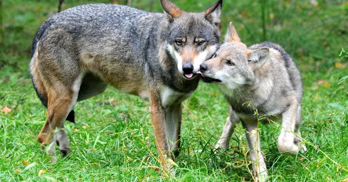 Neue Wölfe: Sichtungen an den Landkreisgrenzen nach Kronach und Hof